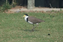 One of the many local Masked Lapwings - these get pretty cranky in Spring after having their young