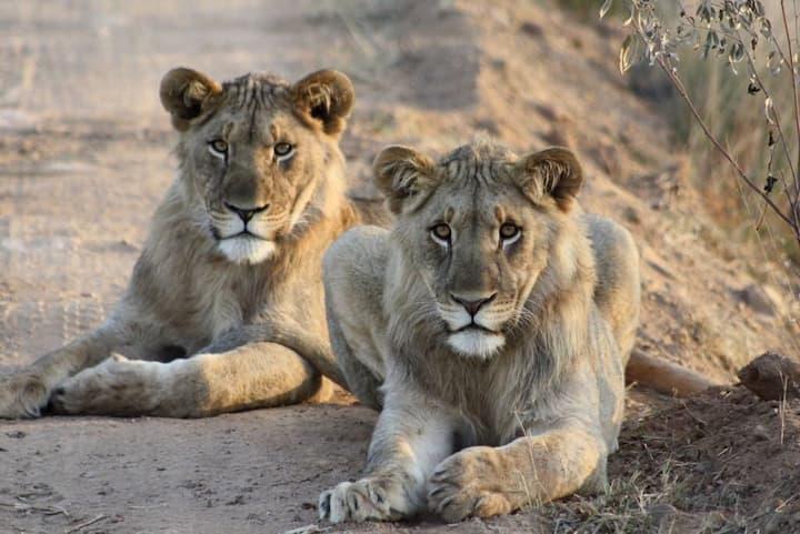 Pride of Africa The Skoen