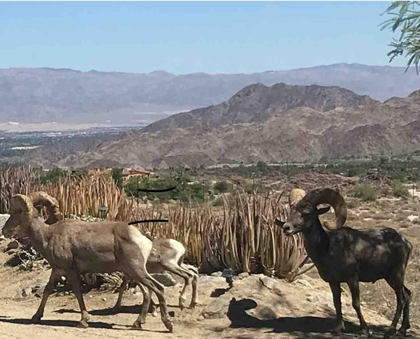Bighorn Sheep strolling by front of cabin! Come see what treasures the desert holds!