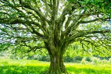 One of our many ancient trees.