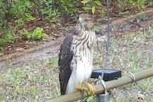 Family of hawks likes to visit near back porch