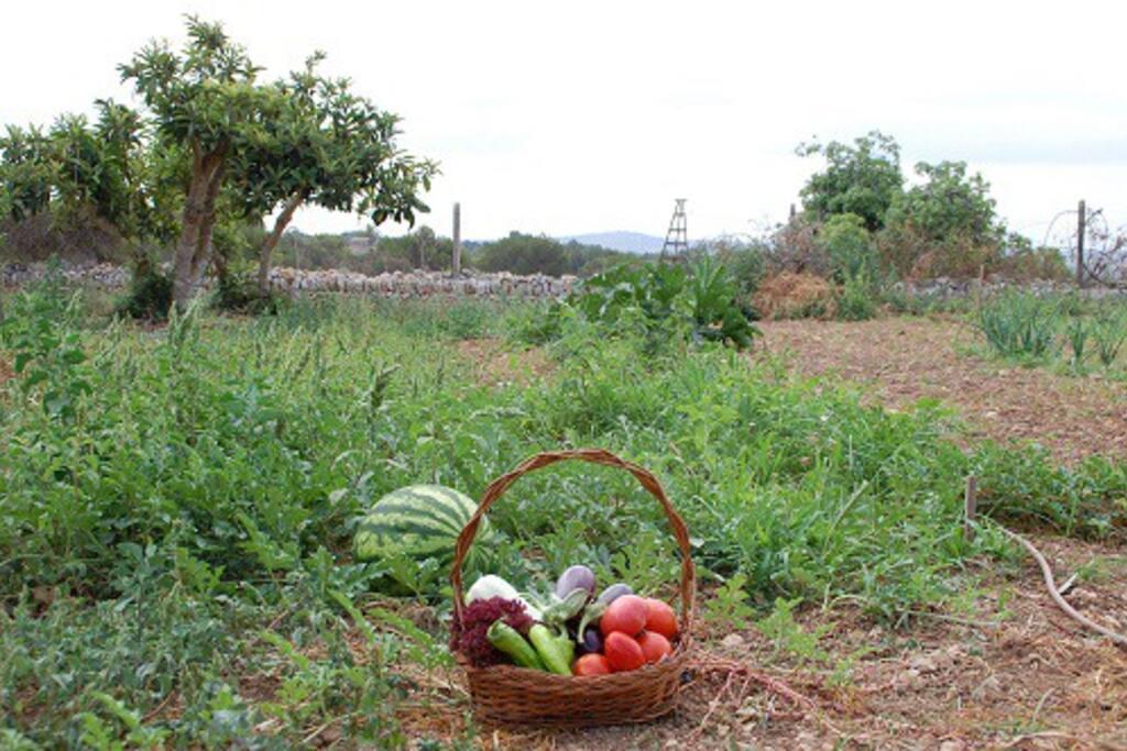 Recogemos algunas hortalizas del huerto, nos serviran para hacer un buen desayuno.