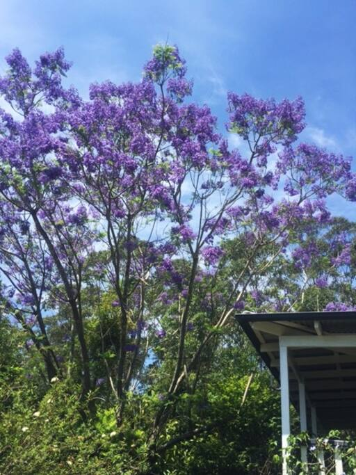Flowering Jacarandah in the springtime