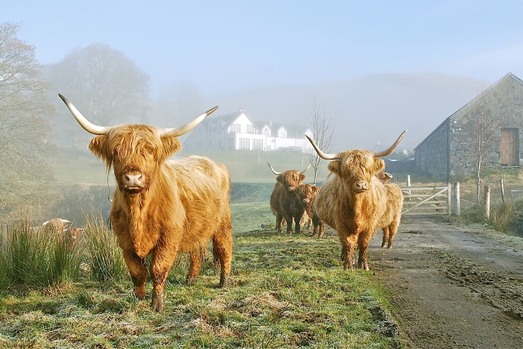 Our Highland Cows at the garden gate