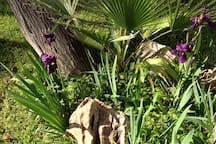 Beautiful Iris in our garden