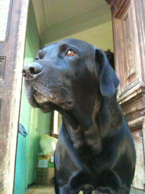 Eiffel, le chien de la famille (labrador)