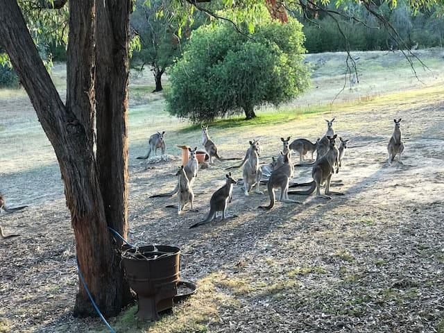 Tallarook kangaroo sanctuary