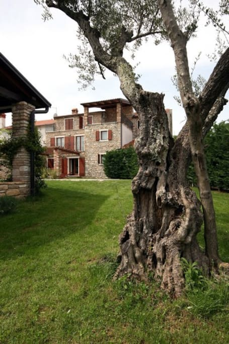 Old olive tree and Villa