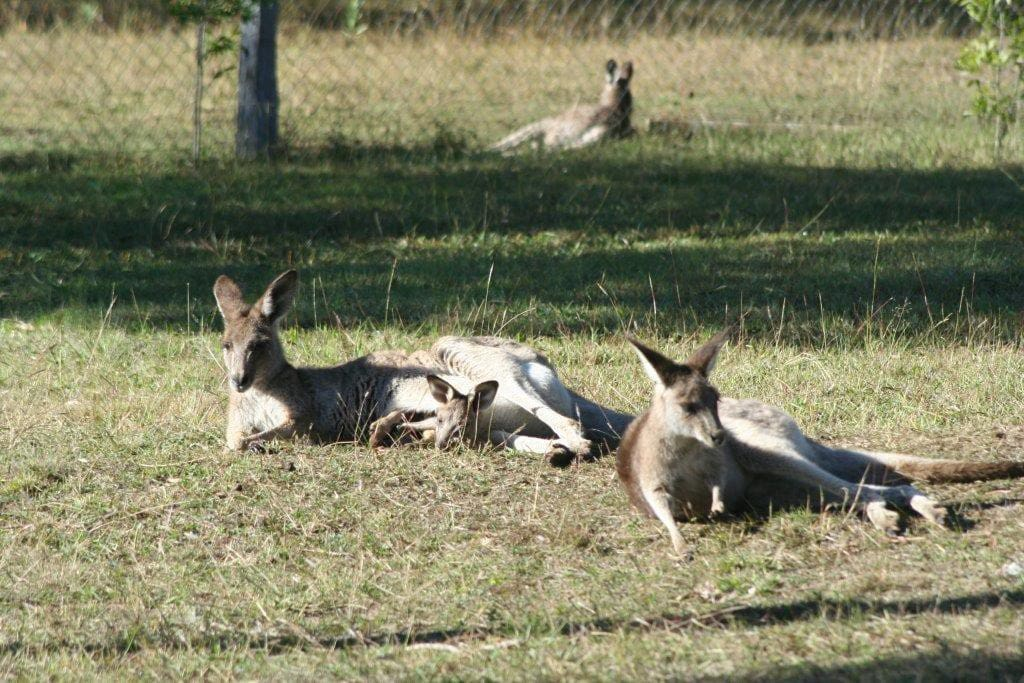 Kangaroos relaxing in the garden.