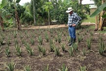 The beginning or our organic aloe vera crops
