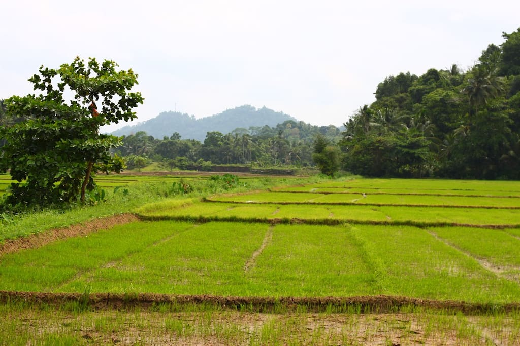 This is the paddy field's near our home. 100 meters from our home.