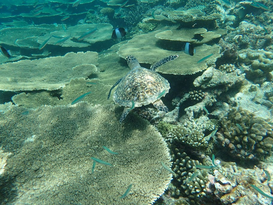 Snorkeling Excursion: Turtle