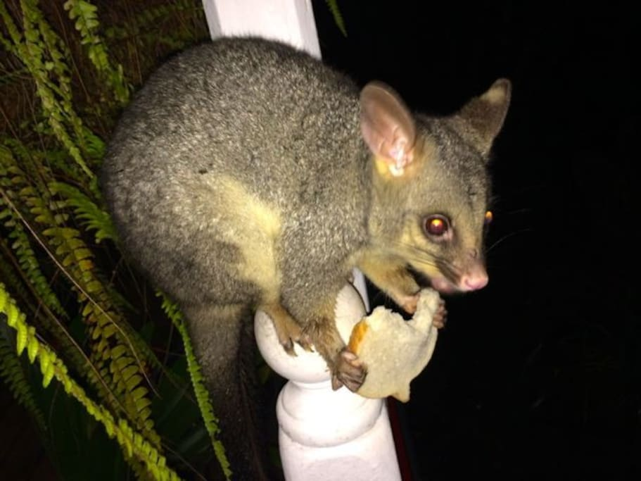 A treat for Mrs Possum