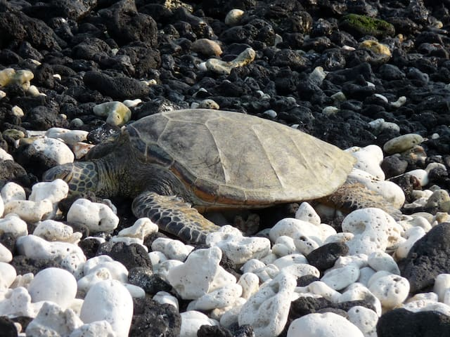 One of the many Honu that frequent our beaches.