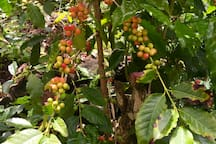 Kona Coffee Farms are less than 10 Minutes away from the Hale!