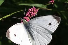 Cabbage White butterfly at our backyard garden