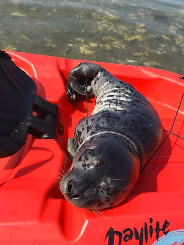 Baby harbor seal hitchhiking on the back of one of our kayaks. A shout out to Tom, Erica, Ivy for the stellar photo!