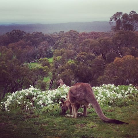 Kangaroos are regular visitors to our front garden.