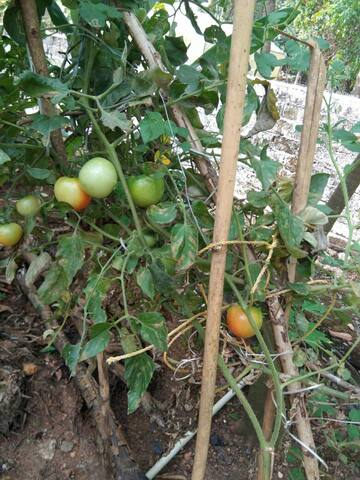 Tomatoes in our Organic farm