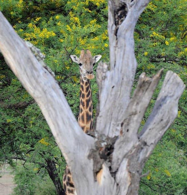 Our resident giraffes, Meisie en Seuna