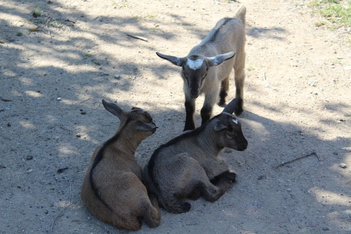 There is a small herd of goats