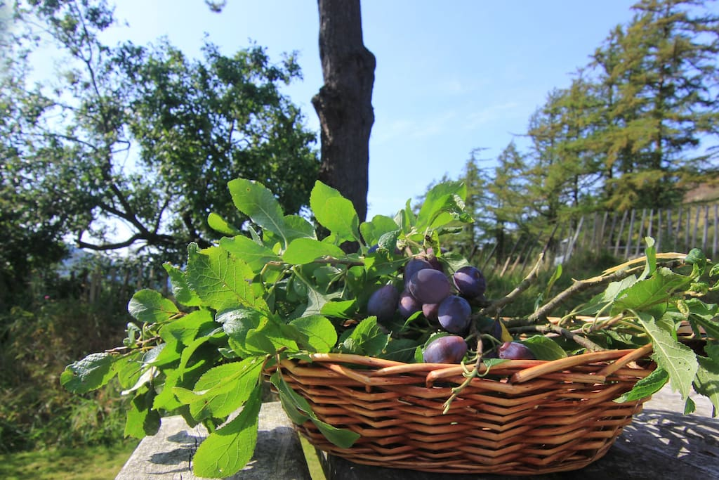 Picking damsons from the wild fruit tree