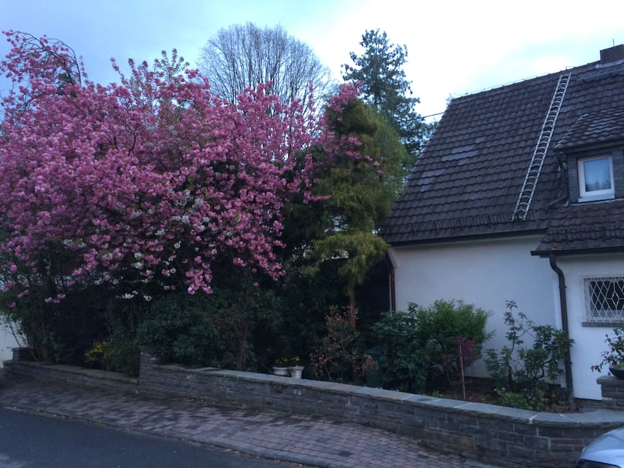 Early spring in Schladern - cherry tree in bloom