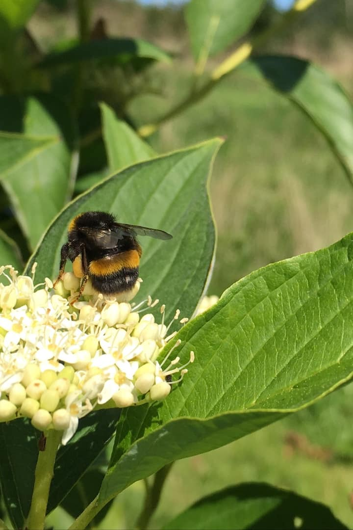 Bumbleebee on Cornus flower