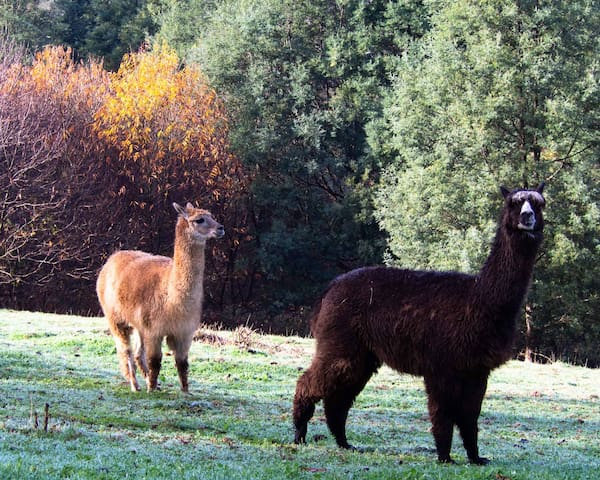 Alpacas on property