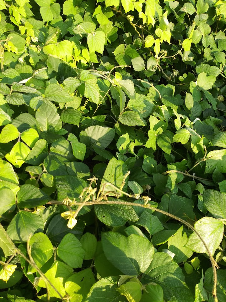 Find what's edible about kudzu