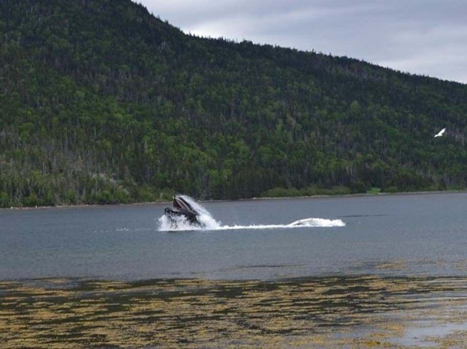 Whales breaching in the bay!