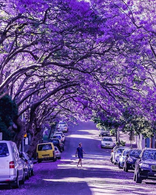 Jacaranda Bloom October - November  - 5 mins walk from your house