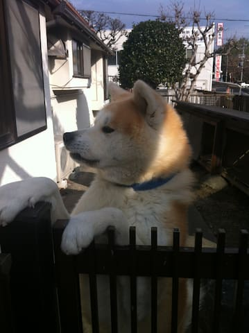 Japanese old house and an Akita breed of dog