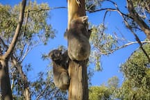 Check out the Koala Conservation Centre