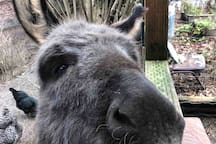 Rocky the donkey will always look forward to greeting you in trade for an apple.