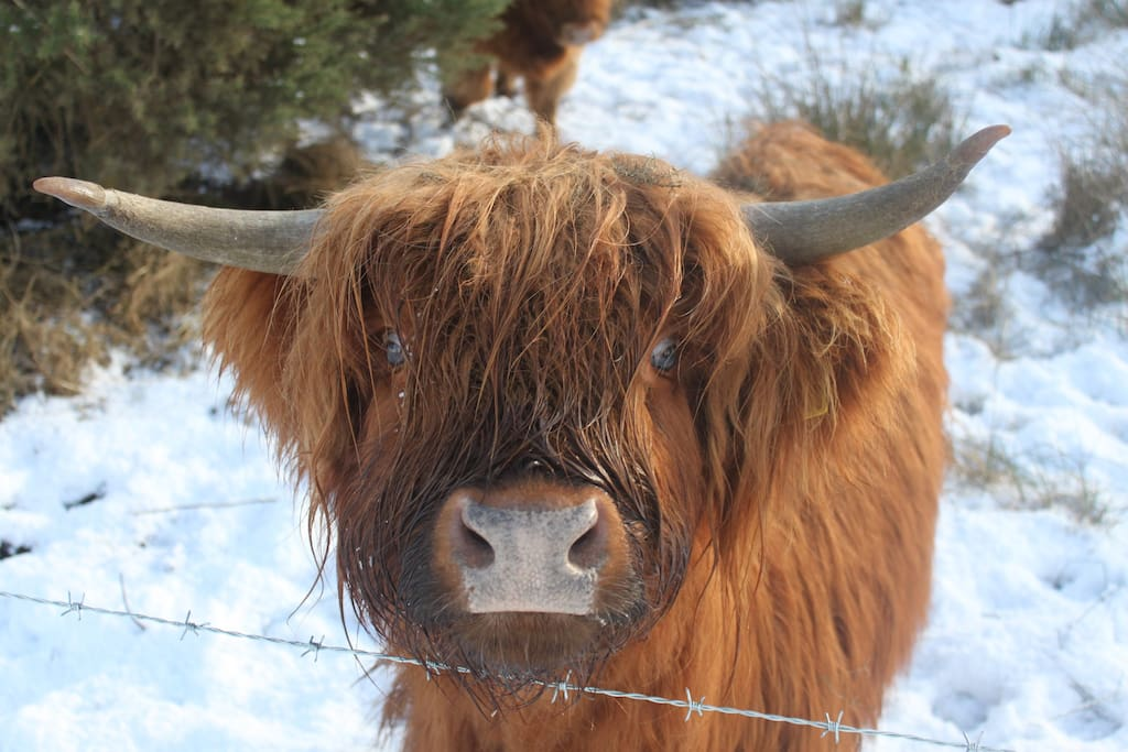 Our Gorgeous Highland Cows