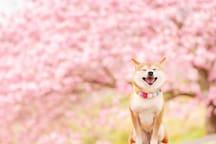 無料で、可愛い柴犬と一緒に撮影体験を予約できます