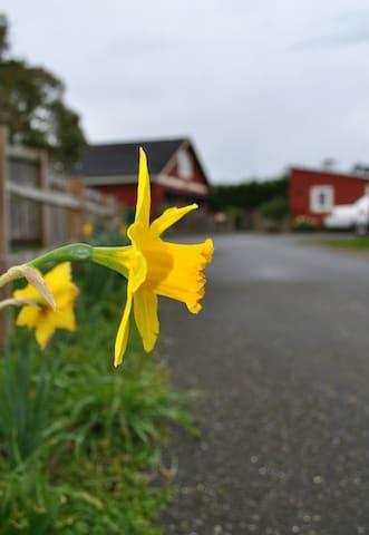 An abundance of Daffodils in Spring