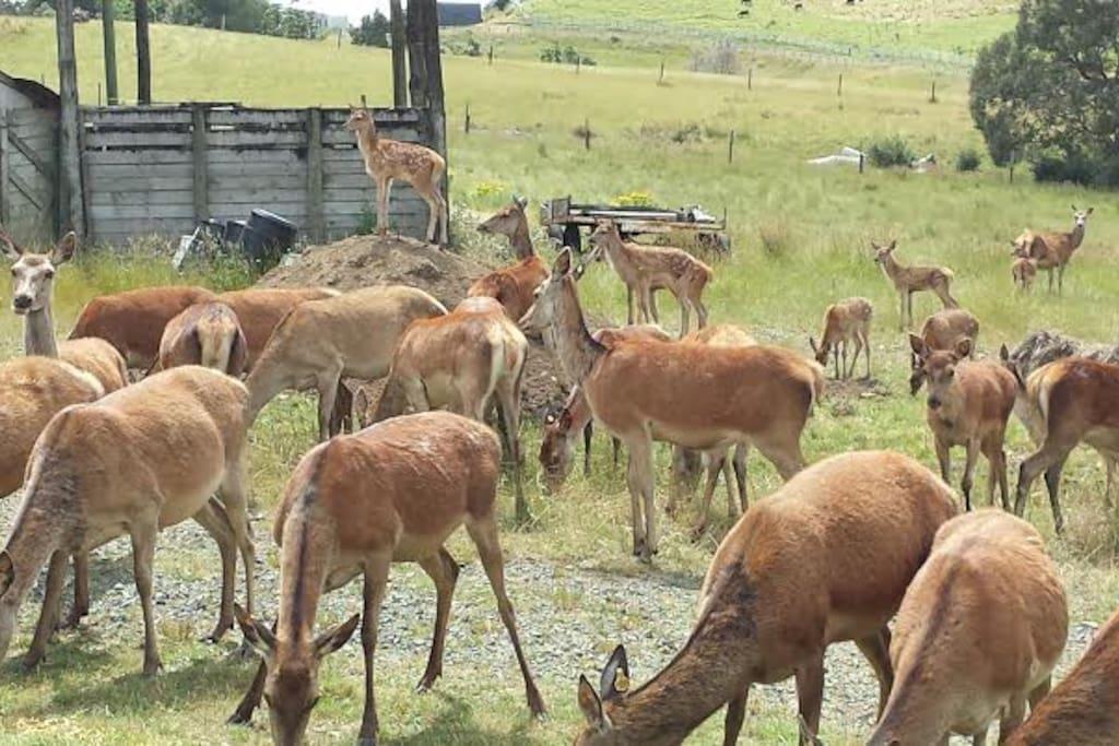 Deer grazing next to Homestead