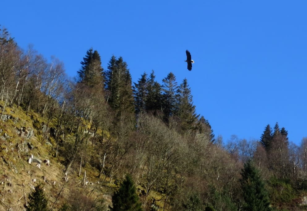 Ørna kommer av og til forbi. The eagle is sometimes passing.