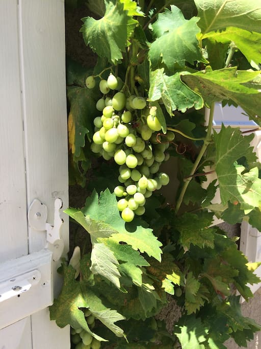 The grapevine over the front door.