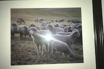 A Band of Sheep $30