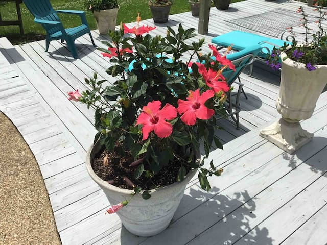Hibiscus flowers all summer