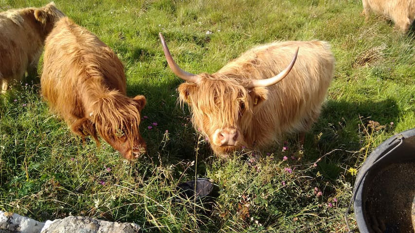 Some of our Highland cows