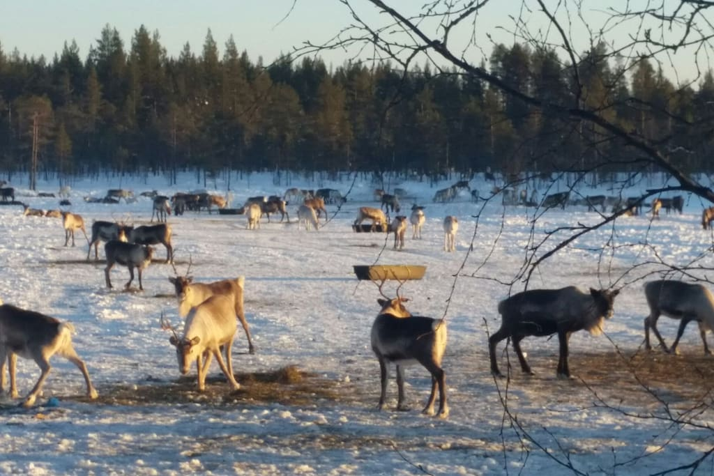 Reindeer herd grazing nearby