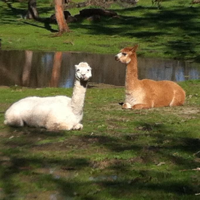 Bella & April, our two beautiful Alpacas. We have ducks, sheep and many wild birds ready to meet you.