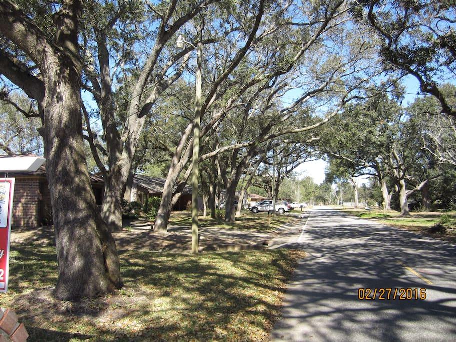 Lovely oak trees lining my street