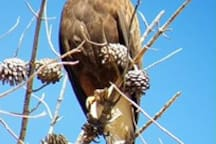 Harris Hawk visitor (photo by Airbnb guest)