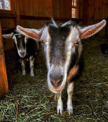 Come meet our herd of Nigerian Dwarf Goats!