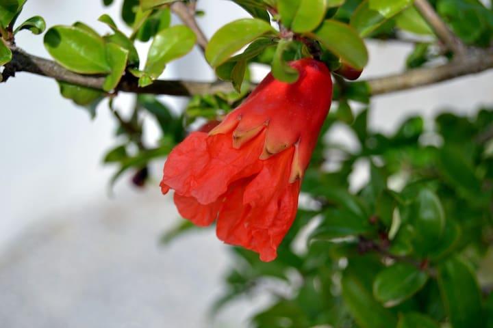 Granatapfelblüte aus dem Garten